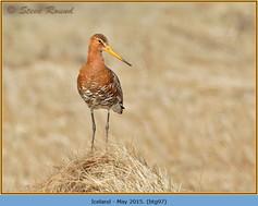 black-tailed-godwit- 97.jpg