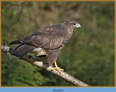 buzzard- 91.jpg