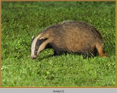badger-13.jpg