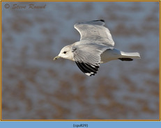 common-gull-29.jpg