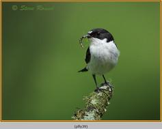 pied-flycatcher-39.jpg