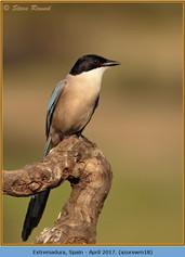 azure-winged-magpie-18.jpg