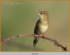grasshopper-warbler-18.jpg