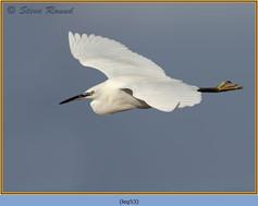 little-egret-53.jpg
