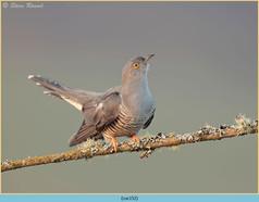 cuckoo-152.jpg