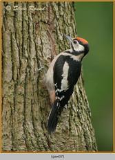 gt-s-woodpecker-07.jpg