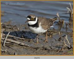 little-ringed-plover-23.jpg