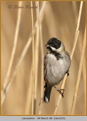 reed-bunting-25.jpg