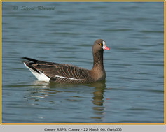 lesser-w-f-goose-03.jpg