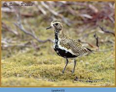 golden-plover-33.jpg