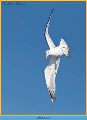 lesser-black-backed-gull-133.jpg