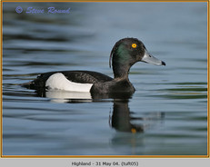 tufted-duck-05.jpg