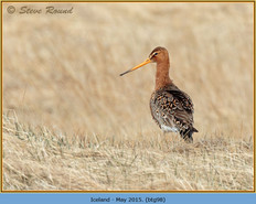 black-tailed-godwit- 98.jpg