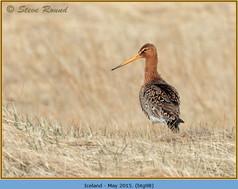 black-tailed-godwit- 98.jpg