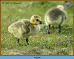 canada-goose-40.jpg