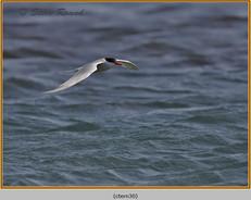 common-tern-30.jpg