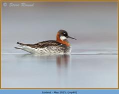 red-necked-phalarope-40.jpg
