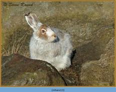 mountain-hare-13.jpg