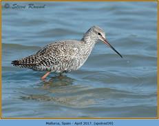 spotted-redshank-39.jpg
