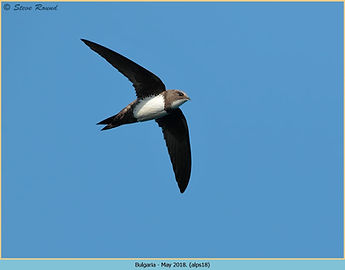 alpine-swift-18.jpg