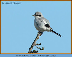great-grey-shrike-02.jpg