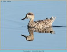 marbled-duck-09.jpg