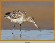 bar-tailed-godwit-23.jpg
