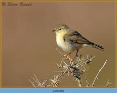 willow-warbler-38.jpg