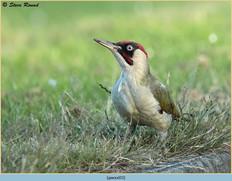 green-woodpecker-33.jpg