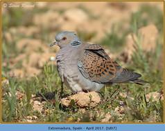 turtle-dove-07.jpg