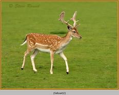 fallow-deer-02.jpg