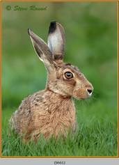 brown-hare-61.jpg