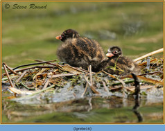 little-grebe-16.jpg