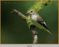 pied-flycatcher-33.jpg