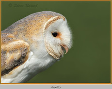barn-owl(c)-02.jpg