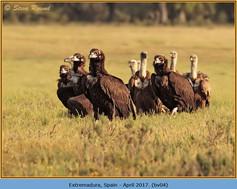 black-vulture-04.jpg