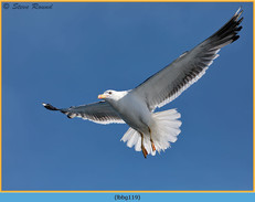 lesser-black-backed-gull-119.jpg