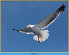 lesser-black-backed-gull-119.jpg