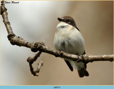 pied-flycatcher-57.jpg