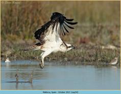 osprey-54.jpg