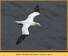 gannet-10.jpg