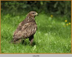 buzzard- 58.jpg