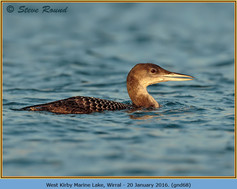 great-northern-diver-68.jpg