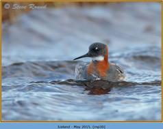 red-necked-phalarope-30.jpg
