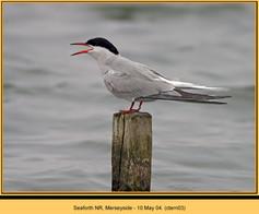 common-tern-03.jpg