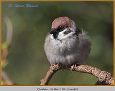 tree-sparrow-12.jpg