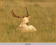 fallow-deer-15.jpg