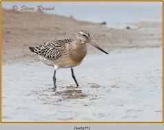 bar-tailed-godwit-35.jpg