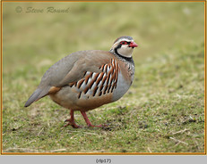 red-legged-partridge-17.jpg