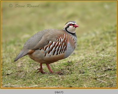 red-legged-partridge-17.jpg